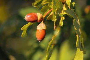 Trees with seeds, like the acorns of Oak trees, are hardwood